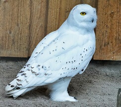 facts about snowy owls for kids