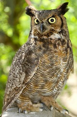 Interesting facts about great horned owls for kids