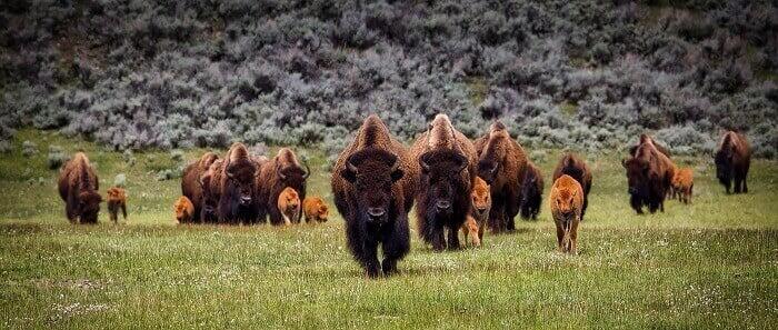Large sized european bison