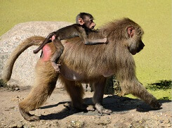 baboons fun facts for kids
