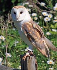 barn owl information for kids
