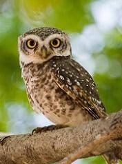 elf owl information for kids