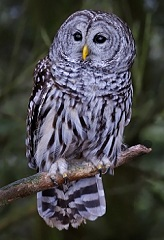 interesting facts about barred owls for kids