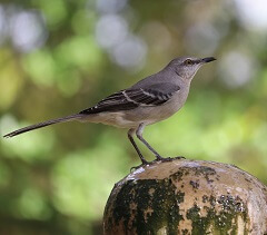interesting facts about mockingbirds
