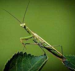 interesting facts about praying mantis for kids