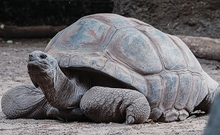 interesting facts about the desert tortoise