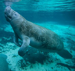 manatees facts for kids
