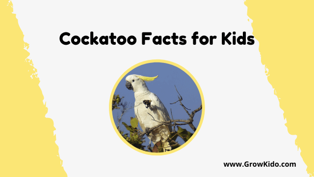 11 Amazing Cockatoo Facts for Kids [UPDATED Facts]