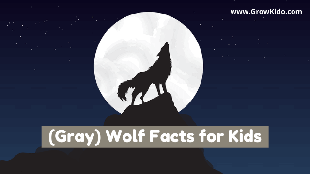 11 Amazing Grey/Gray Wolf Facts for Kids [UPDATED Facts]