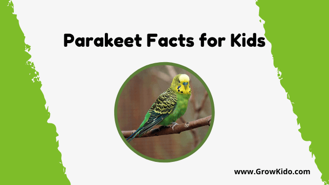 11 Amazing Parakeet Facts for Kids [UPDATED Facts]