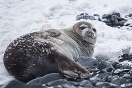 facts about harp seal for kids