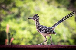 fun facts about roadrunners