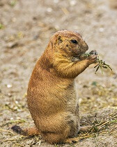 fun interesting facts about prairie dogs