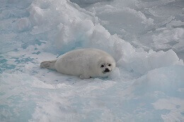 harp seal pup fun facts for kids