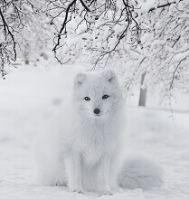 interesting facts about arctic foxes for kids