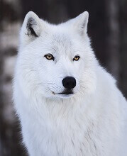 interesting facts about arctic wolves for kids