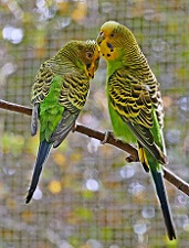 interesting facts about budgies budgerigar