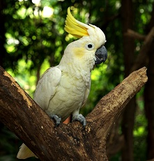 interesting facts about cockatoos for kids