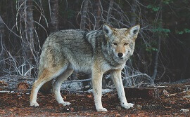 interesting facts about coyotes
