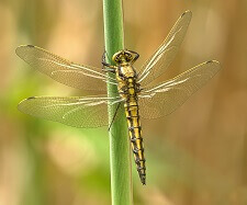 interesting facts about dragonflies information