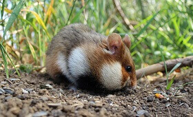 interesting facts about hamsters for kids