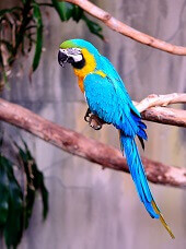 interesting facts about macaws parrot