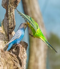interesting facts about parakeets for kids