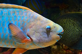 interesting facts about parrot fish
