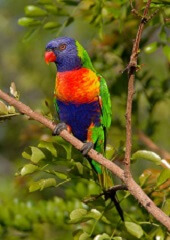 interesting facts about rainbow lorikeets information