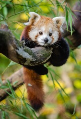 interesting facts about red pandas for kids