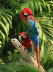 interesting facts about scarlet macaws