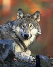 interesting facts about wolves for kids