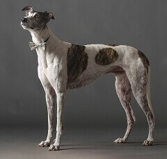 interesting greyhound dog facts for kids
