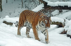 Fun Facts about Siberian Tigers for Kids