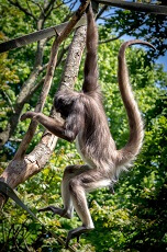 Fun Facts about Spider Monkeys for Kids