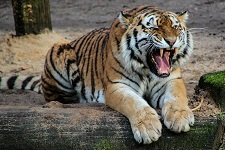 Fun Facts about Tigers for Kids