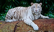Fun Facts about White Tigers for Kids