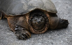 facts about snapping turtles for kids