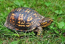 fun facts about box turtles for kids