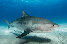fun facts about tiger sharks for kids