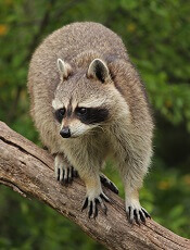 interesting facts about raccoons for kids